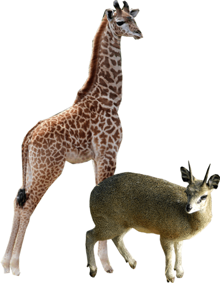Giraffe and Klipspringer