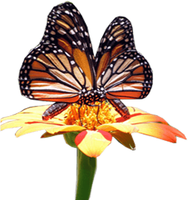 monarch butterfly polinating a flower