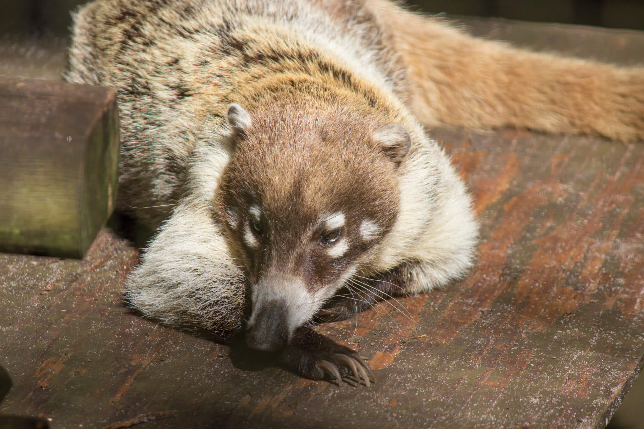 White-nosed Coatimundi