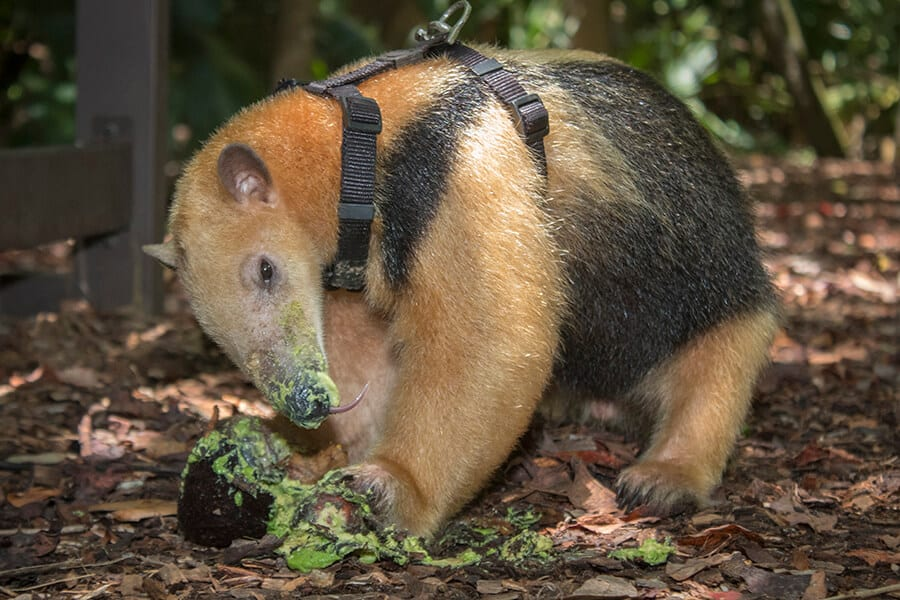 Corduroy the tamandua eating avocado
