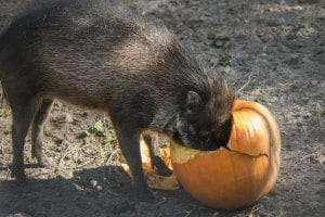 Visayan warty pig with face in pumpkin