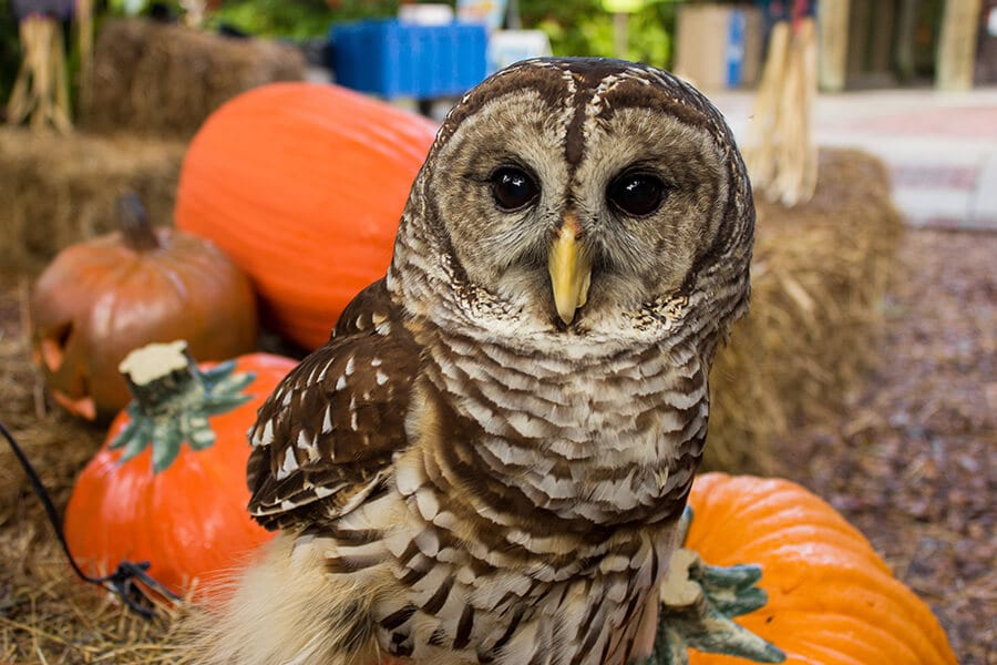 Errol a barred owl