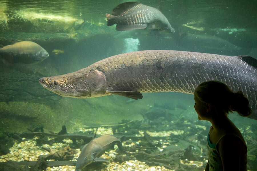 A child looks at an arapaima through glass