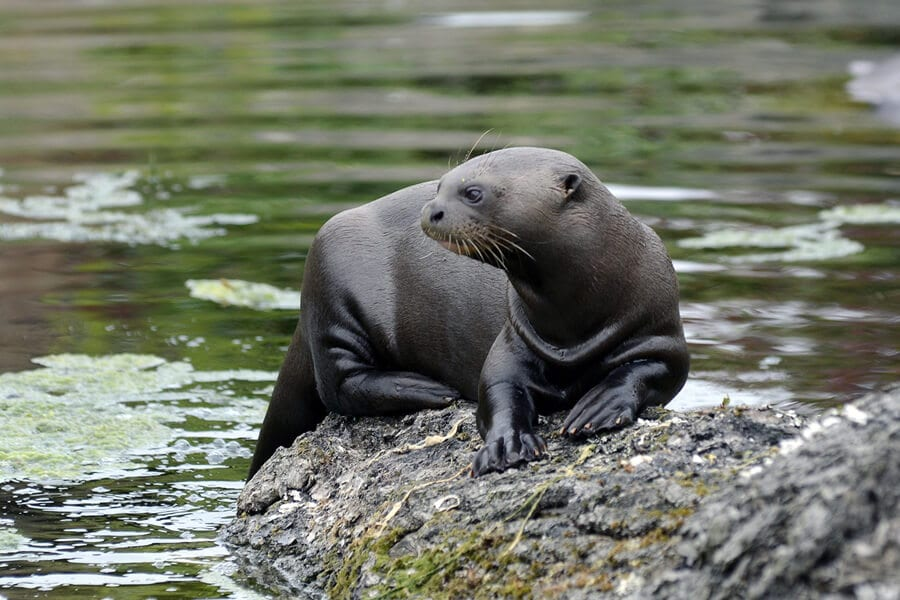 A giant otter sits on a riverbank.