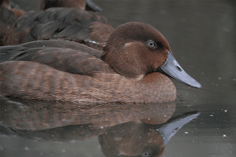Madagascar pochard duck in pond