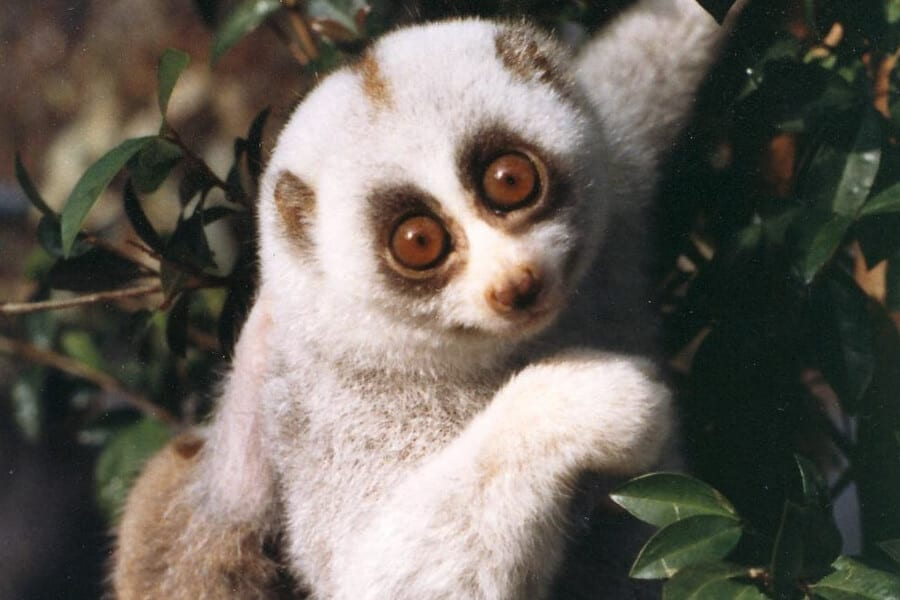 Javan slow loris hangs in a tree.