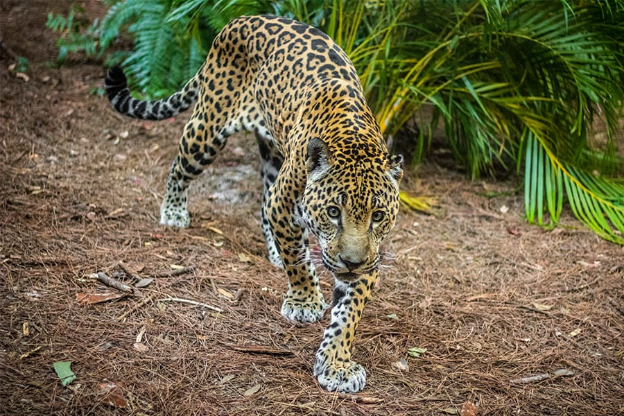 Jaguar walks forward
