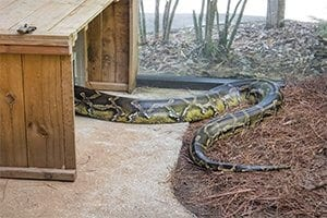 The tail of a Burmese python inside its habitat.
