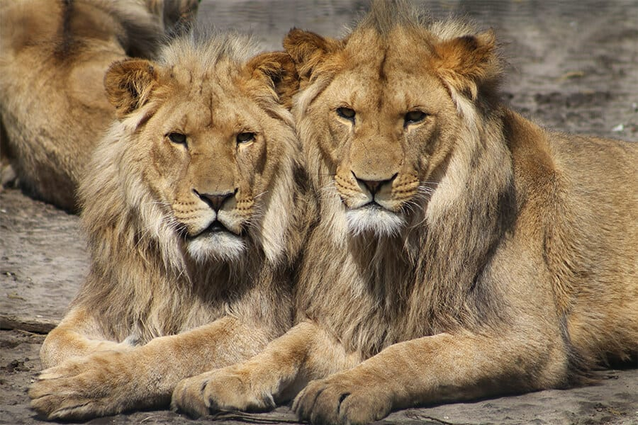 Two male lions