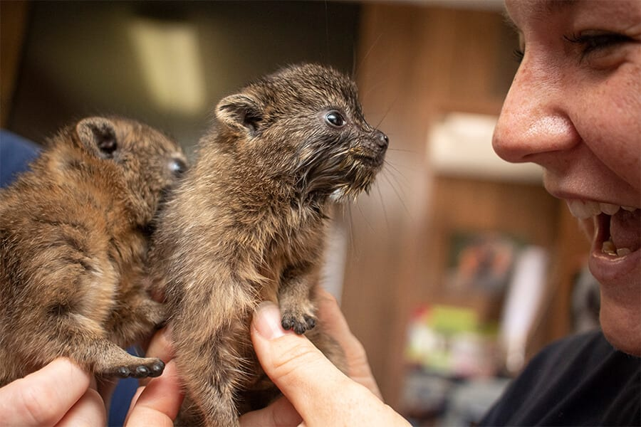 Two rock hyrax pups