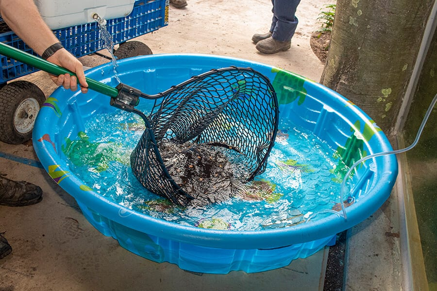 A man uses a net to place a stingray in a blue plastic pool.