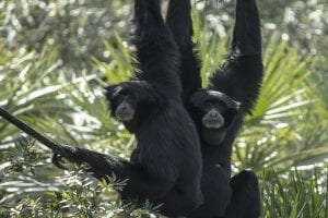 two siamangs hanging from rope