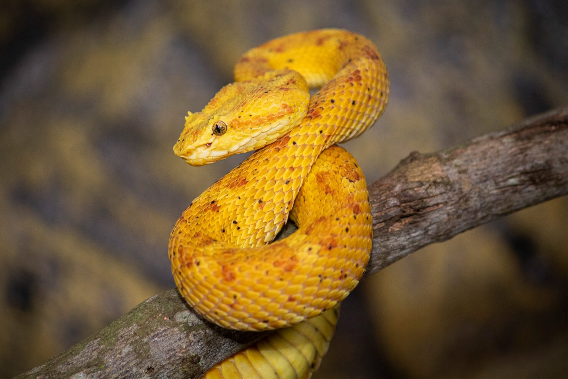 Eyelash viper snake coiled on a tree branch