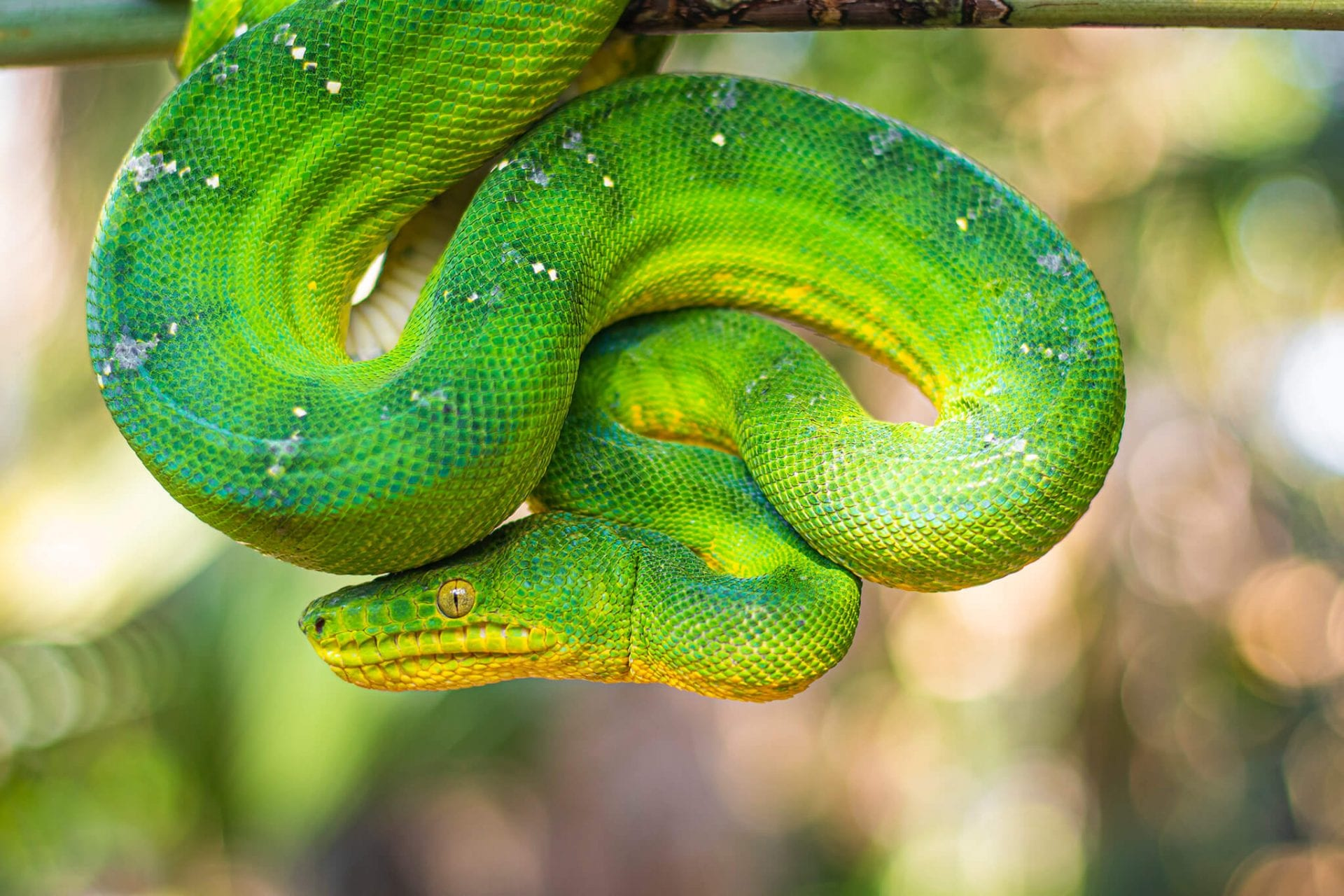 Emerald tree boa coiled
