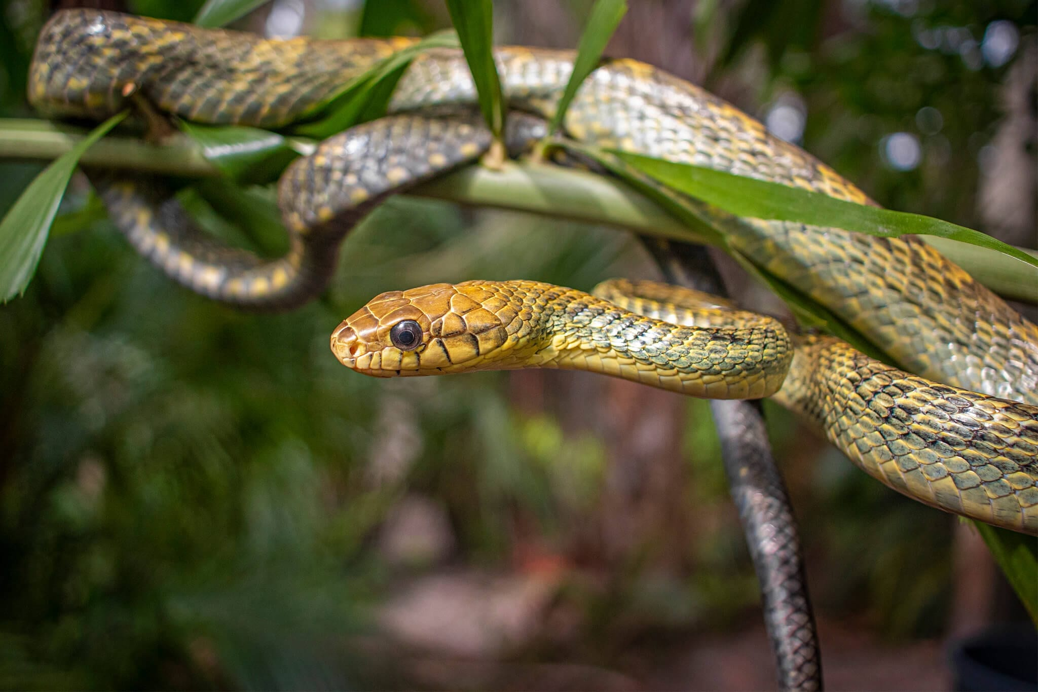 Yellow-bellied puffing snake in tree