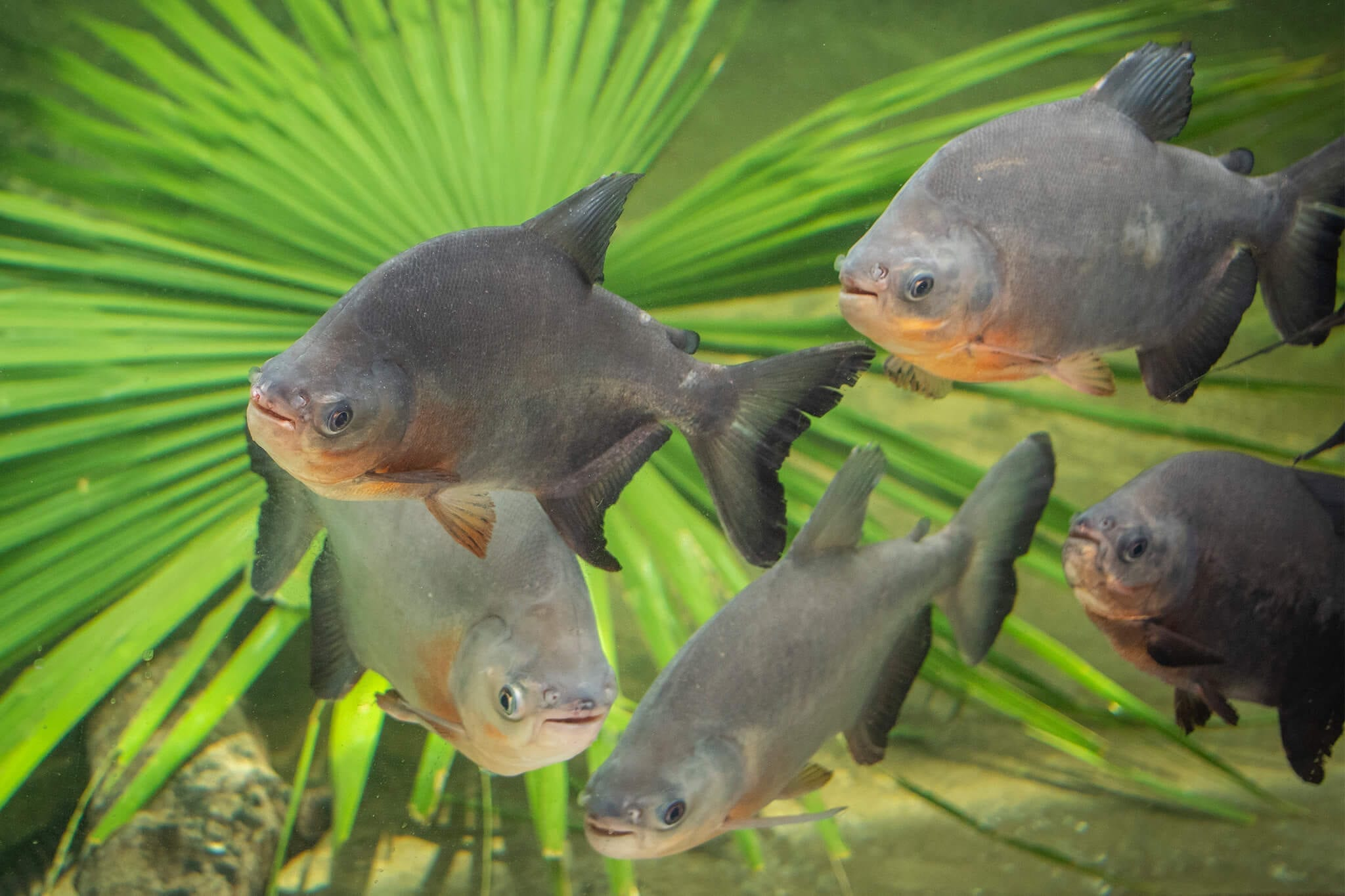 Red-bellied pacu group