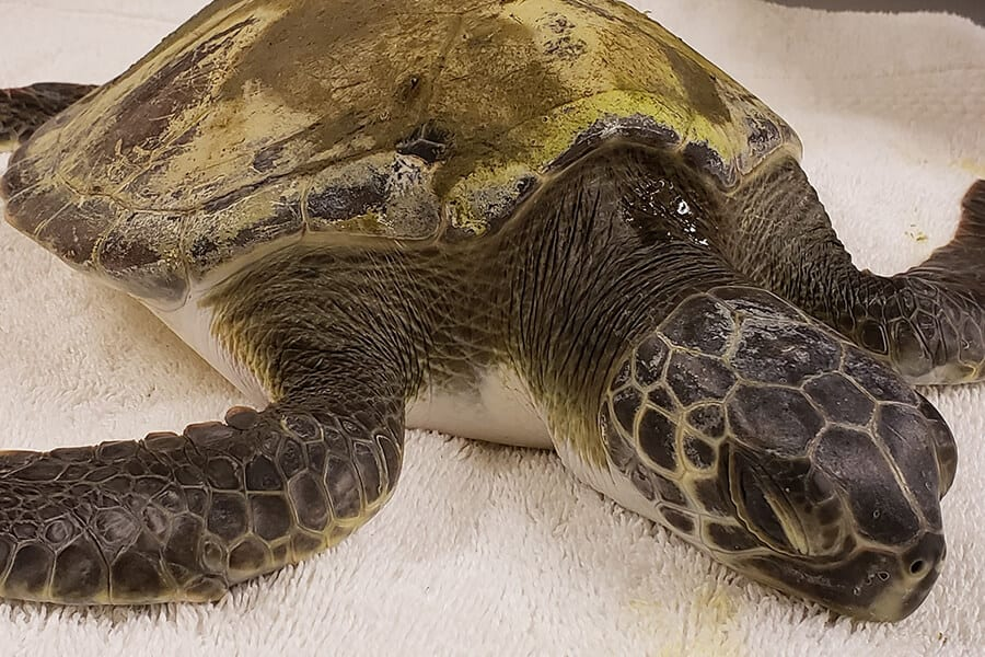 Tater Tot, a juvenile green sea turtle laying on a white towel.