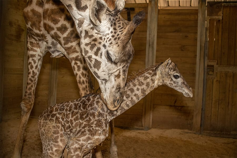 Mother giraffe with calf