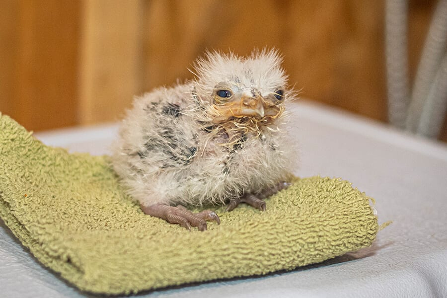 Tawny frogmouth chick