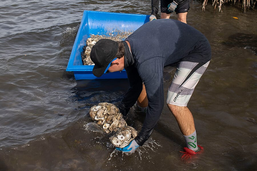 Staff member places oyster bag in the water