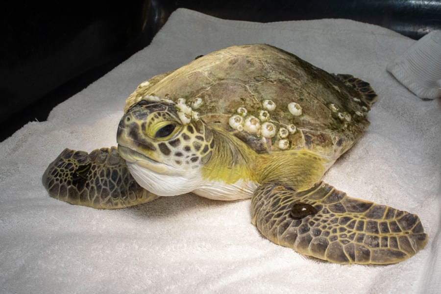 Green sea turtle patient Venus undergoes leech therapy