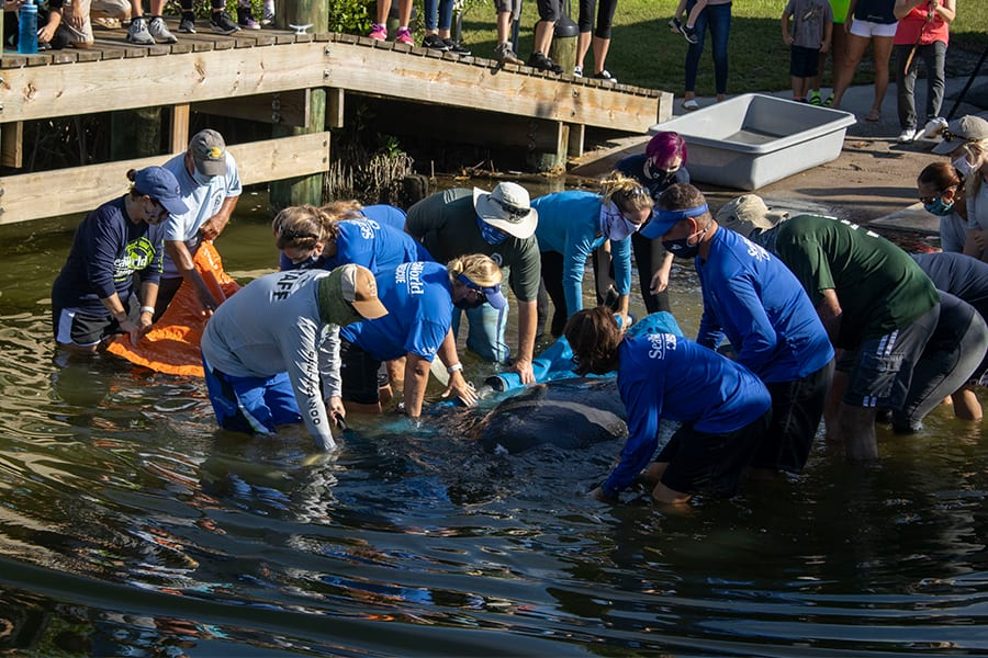 A crew releases manatees