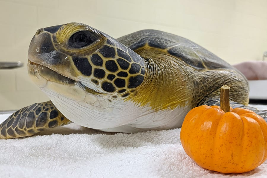 Sea turtle Pumpkin
