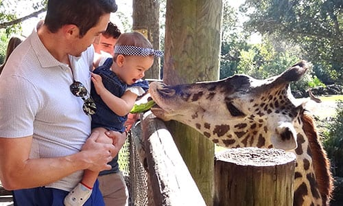 feeding giraffe with baby