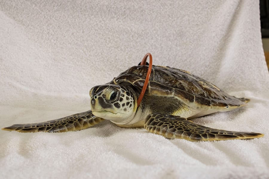 Green sea turtle Juanita