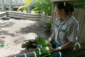 African Spurred Tortoise getting lettuce