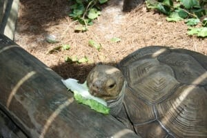 African Spurred Tortoise eating lettuce