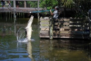 Alligator leaping out of water for feeding