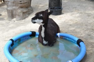 Alpaca in pool