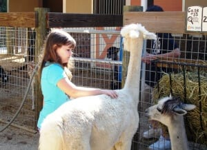 Alpaca being pet by child