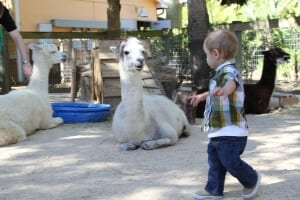 Alpaca and child