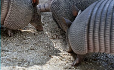 Nine-banded Armadillo6