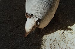 Nine-banded Armadillo2