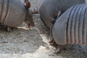 Nine-banded Armadillo4