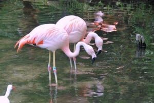 Chilean Flamingo2