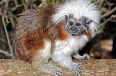 Cotton-top Tamarin5