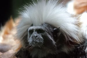 Cotton-top Tamarin2