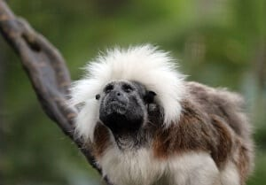 Cotton-top Tamarin3