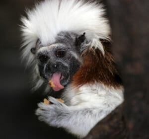 Cotton-top Tamarin4
