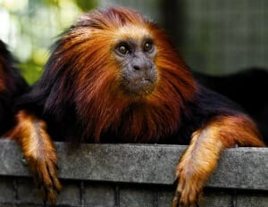 Golden-headed Lion Tamarin2