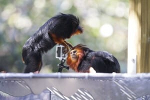Golden-headed Lion Tamarin3