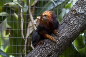 Golden-headed Lion Tamarin6