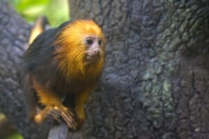 Golden-headed Lion Tamarin8