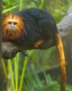Golden-headed Lion Tamarin9