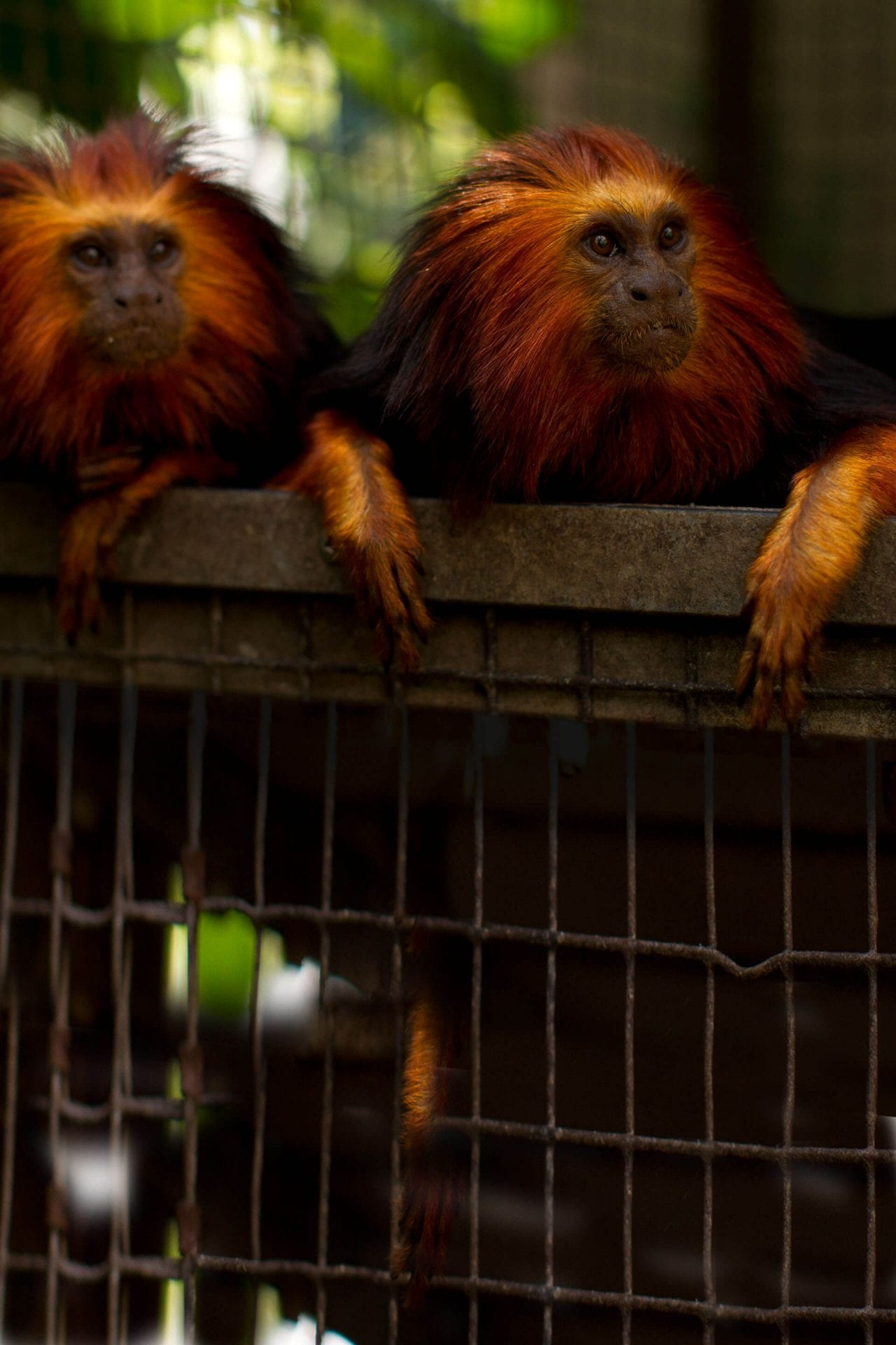 Golden Headed Lion Tamarin Habitat