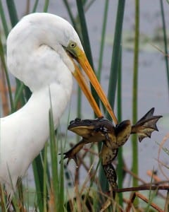 Great Egret and frog